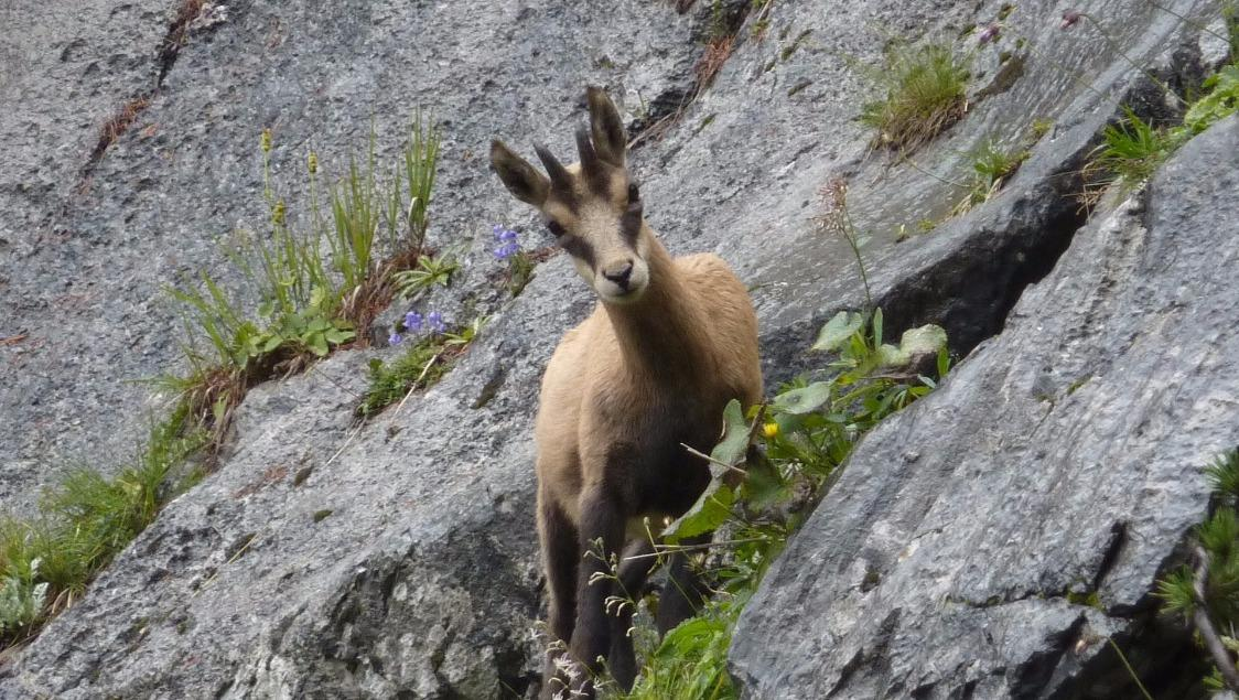 Wilde Göscheneralp - Enjoy Wildlife Watching